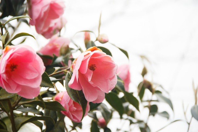 camelia, flowers, nature, meaningful living, kinfolk,