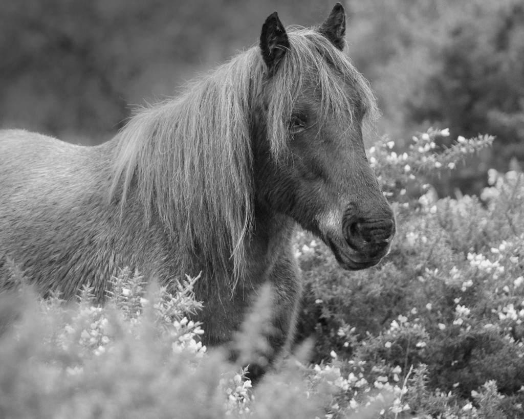 wild ponies, wild horses, new forest, hampshire, travel, monochrome, black and white